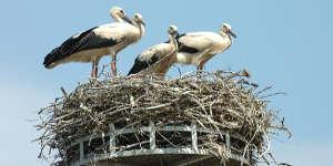 Des actions couronnées de succès pour la cigognes banches