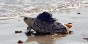 Deux tortues relâchées sont mortes