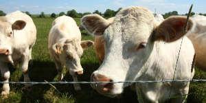 La tuberculose bovine revient