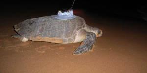 Des ingénieurs testent un appareil pour suivre les tortues