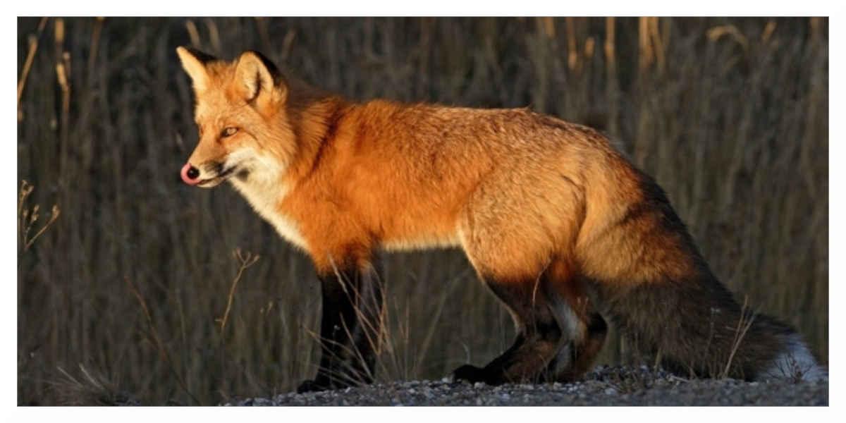 Face au tollé, la fédération renonce à sa prime aux plus gros chasseurs de renards