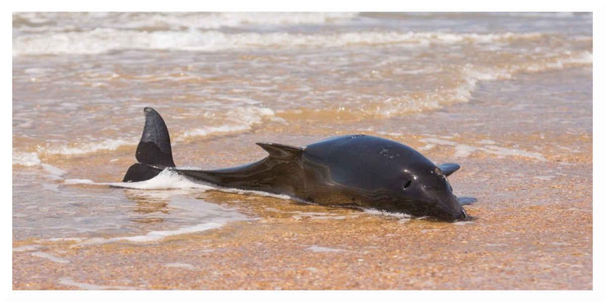 Depuis janvier 1 100 dauphins se sont échoués sur les côtes françaises